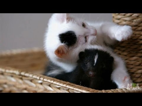 Who Knew Kittens and Skunks Made Such Good Friends? | Too Cute!
