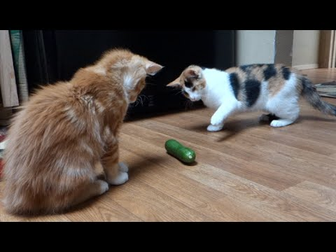 Cute Kittens React to Cucumber
