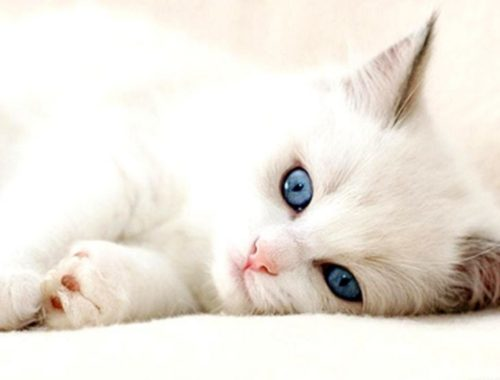Cute Kittens - Cutest Turkish Angora Kittens!