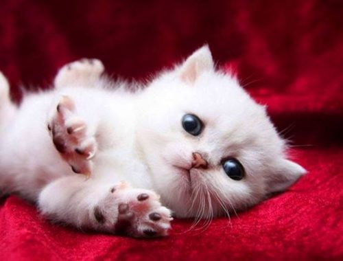 Cute Baby Munchkin Kittens Who Will Melt Your Heart