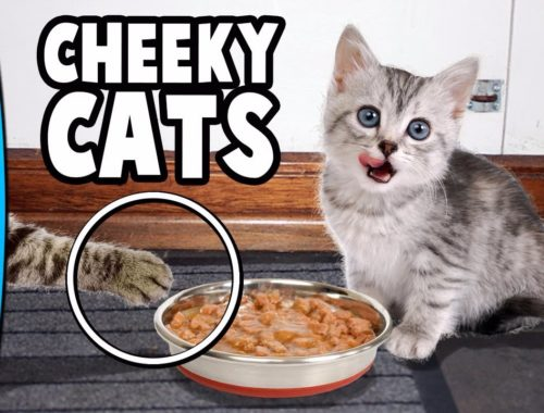 Cheeky Cats Compilation   Hilarious Cute Kittens - Funny Moments   Best New 2017 Collection