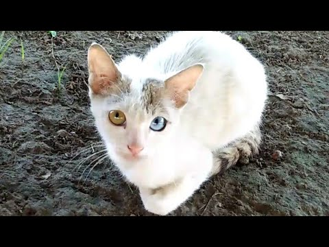 Odd - Eyed Cat | Cat With Different Coloured Eyes | Cute Kittens | Part 2