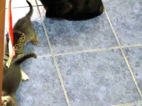 Cute kittens playing each other. (Funny).