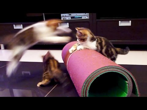 Cute Kittens performs Circus
