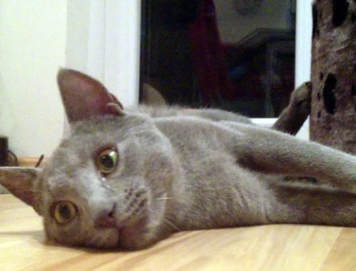Cute Kittens playing with Russian Blue Cat