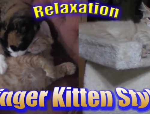 16 year old calico helps 2 cute kittens relax