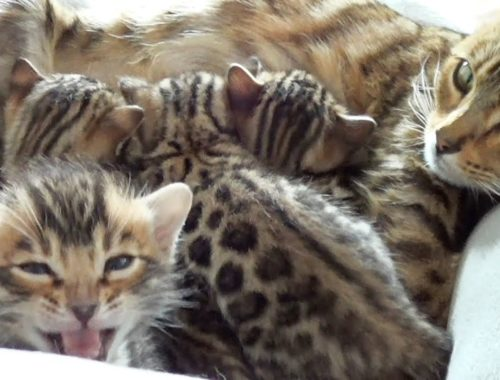 Mother Bengal talking to her Cute Meowing Kittens