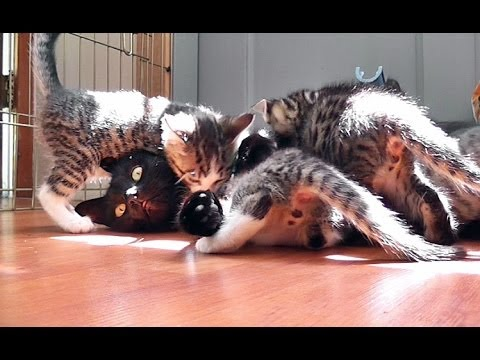 Kitty Cate's Cute Kittens Attack!