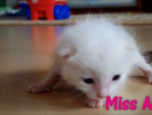 Small Cute Kitten Meowing: 2 weeks old and counting