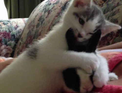 Cute Kitten cleaning baby Bunny (adorable funny video)