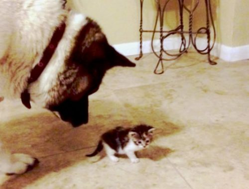Dogs Meet Kittens for the First Time (HD) [Epic Laughs]