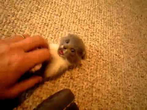 Super Tiny and Cute Kitten (MUST SEE! VERY CUTE!)