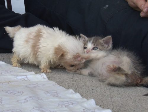 Cutest Rescue Puppy and Kitten Are Best Friends