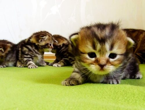 3 week old Funny  Kittens learns how to walk   Too Cute Cats