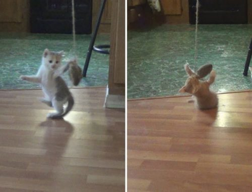 Cute Kittens Playing - ADORABLE!