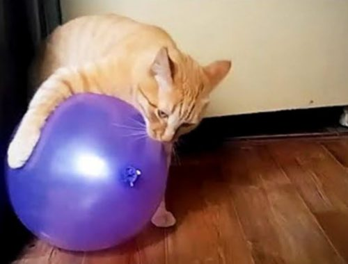 Awesome Cats 😸🎈Funny Cute Cats vs Balloons (Full) [Funny Pets]