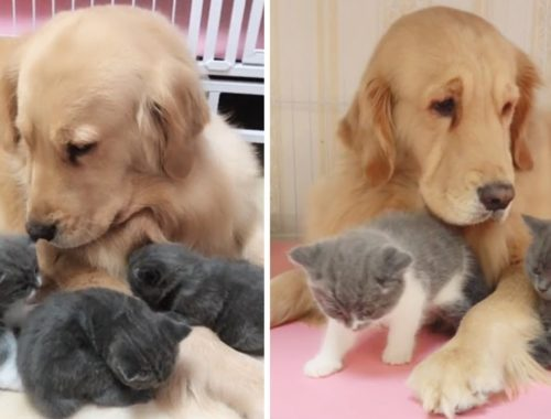 Golden Retriever Has A Lot Of Cute Kitten Friends
