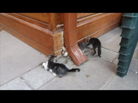 Cute kittens eating food and playing with each other