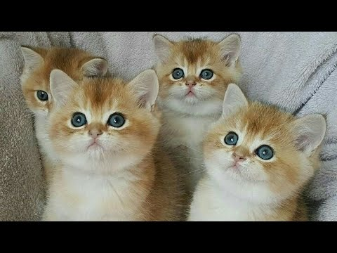 British Gold Cat - Amazing ll Very Cute Kittens ll cat fails try not to laugh 2019