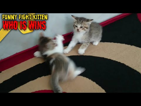 Funny Fight Kitten 🐈 cute cat videos ¦¦ who is win?