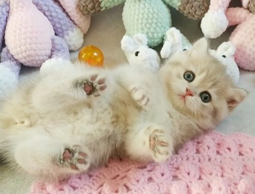 💗Aww - Funny and Cute Kittens 2019 British Shorthair💗