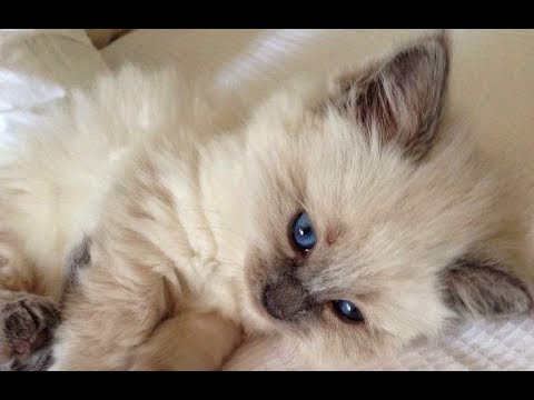 Sweet and Fluffy RAGDOLL CATS! - Ragdolls Cats Kittens are so CUTE and CUDDLY Compilation 2017