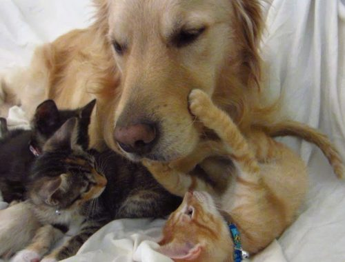 Super Cute Orange Kitten Touching & Holding Dog's Face on the Couch - Boop Nose! - Golden Retriever