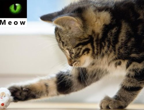 Funny Cats And Cute Kittens Playing Compilation