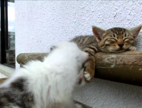Cute cats: Black and white kitten tries to wake up tiny tabby in Japan