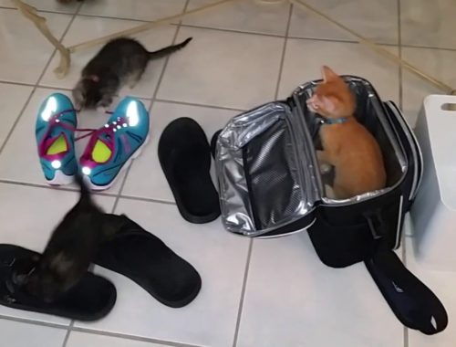 Silly & Cute Kittens Playing With Drink Cooler, Sandals and Sneaker Shoe laces - Foster Cats