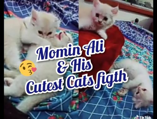 Momin Ali's kittens figth || Cutest kittens of Momin Ali