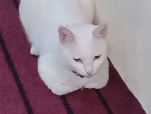 Beautiful white 🐱 with silver eyes.Cats Meowing| Cute Kittens Meowing|