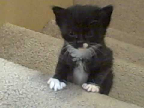 Kittens first trip up the stairs! cute tabbies & tuxedos kitties climb stairs