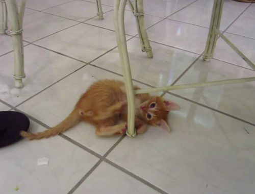 Cute Orange Kitten Attacking Chair Legs & Playing - Foster Cats