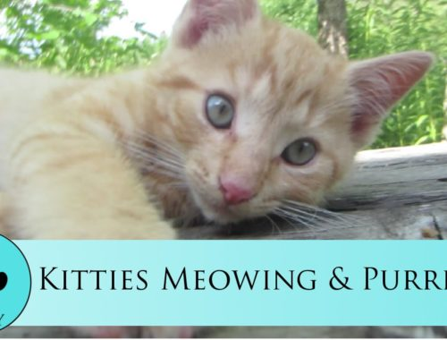 Kitties Meowing & Purring