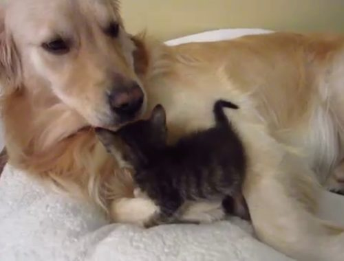 Super Cute Foster Kitten Snuggling & Licked Clean By Big Golden Retriever Dog - 3 Weeks Old