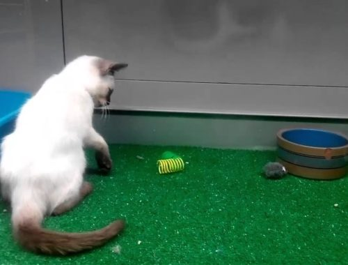 Cute kitties fascinated  by their  toy (must be watch)