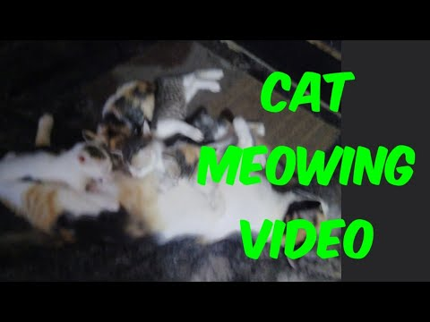 Cat meowing video | Cute kittens meowing video