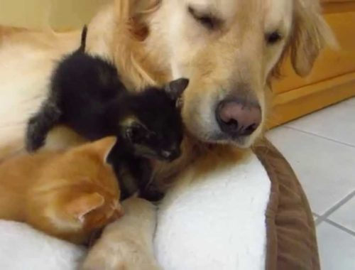 Kitten Sneezing! Two Cute Foster Kittens & Big Golden Retriever Dog - Sitting On, Crawling, Sleeping