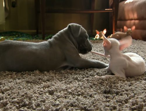Kitty vs. Pit Bull | Too Cute!