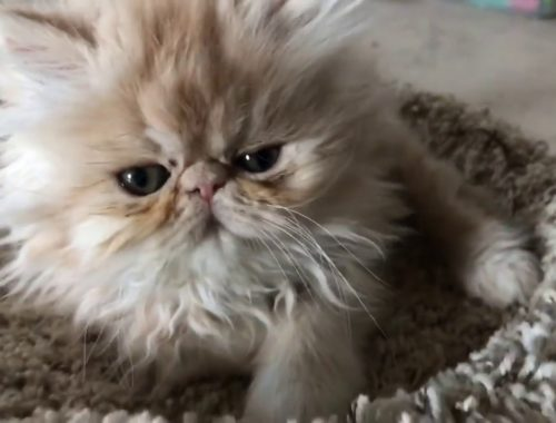 😻Adorable 😺CUTEST pets EVER 🙀little Persian kittens ASMR greatest happy best feeling love cats 😼
