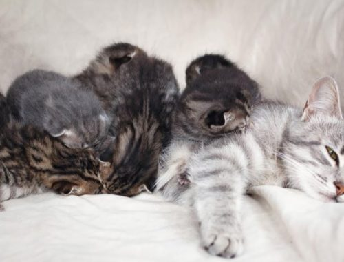 Cat Mom Feeds Her Goofy Baby Kittens and Takes Care of Cute Kittens