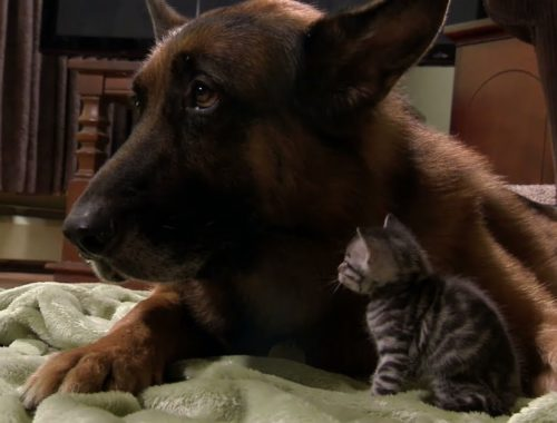 Puppies and Kittens Share Their Love | Too Cute!