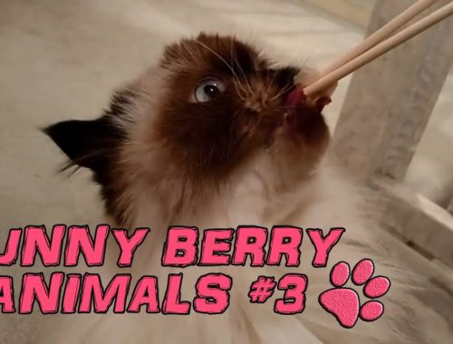 Funny animals - cute cats dogs, Pet Compilation 2015 || Funny Berry Animals #3
