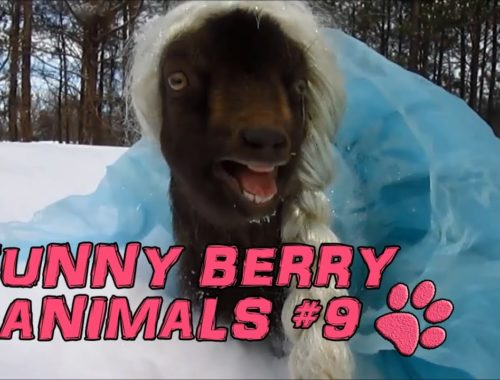 Funny animals - cute cats dogs, Pet Compilation 2015 || Funny Berry Animals #9