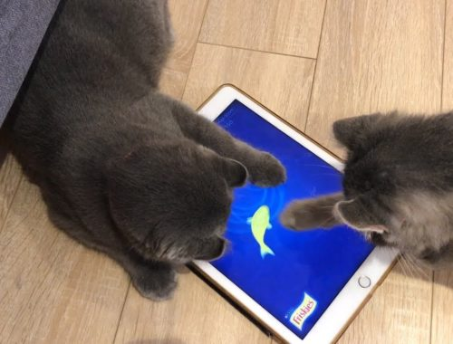 Cat Loves Playing Game on Ipad | Funny and Cute Cats Compilation