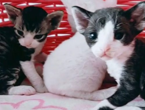 These Kittens Are The Cutest With Big Ears