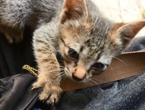 Cute Kitten Stuck His Head Inside My Bag, Curious & A Little Hungry, Anak Kucing Lucu, Cats Meowing