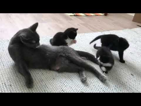 Litter of Tuxedo Kittens Play With Mum and It Is SOOOOOOO CUTE!