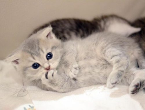 Cute Kittens Running and Playing on Sofa Bed, While Their Mom Rests